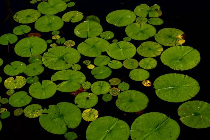 nénuphar sur un lac du canton de Fribourg