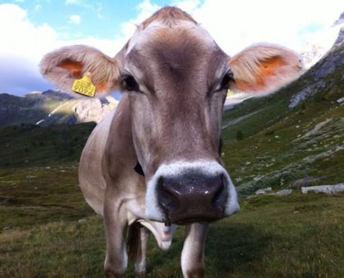 vache alpage